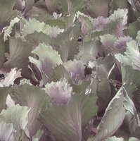 Red cabbage field